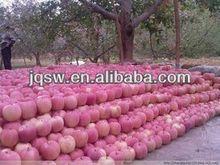 China fresh red fuji apple in good export price