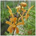 Oranage Mokara orquídeas painel