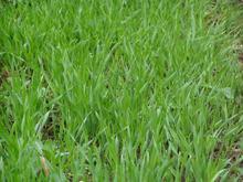 Wheatgrass pó contém solúveis e insolúvel fibra para a gestão de peso