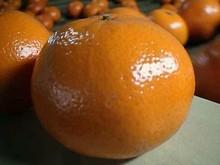 Sweet Fresh Mandarin Kinnow Best Quality