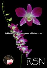 Fresh Cut Dendrobium Orchid