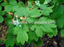 Blue cohosh , Caulophyllum thalictroides