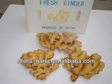 2013 New Ginger Buyer ( High Quality)