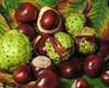 Natural Horse Chestnut Extract 98% Escin