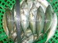 ที่มีคุณภาพสูงตลอดทั้งปลาทูแช่แข็งอินเดีย