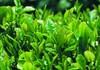 GMP 100% Natural Green Tea Extract