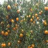 2013 new crop fresh pokan