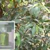 Colorless liquid 100% pure eucalyptus oil