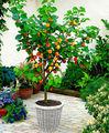 Miniatura de decoração de árvores de fruto, frutos comestíveis