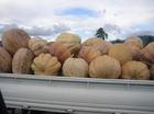 Pumpkins from Trinidad