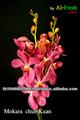 mokara orquídeas para venda e exportação a partir de tailândia