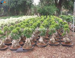 Ficus microcarpa original leaves