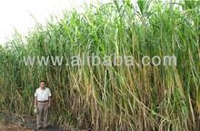 ORGANIC NAPIER GRASS BIOMASS FOR SILAGE/ FUEL / BRIQUETTE/CHARCOAL/ BIOCHAR