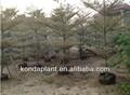 Al aire libre de plantas ornamentales. Vivero de plantas tropicales. Los árboles perenne