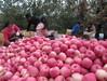 China fresh apples qinnguan