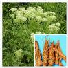Radix Angelicae Dahuricae extract 97% Imperatorin