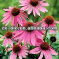 Natural Echinacea purpurea extract
