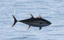 Yellow fish tuna