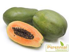 Hot Selling Halal Certified Papaya Powder /High Quality/Best Price