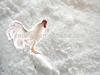 Ciprofloxacin lactate soluble powder antibiotics veterinary medicines cattle