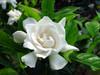 High Qulity Cape Jasmine Fruit P.E.