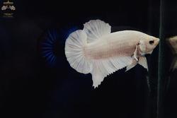 thai betta fish