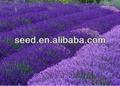el jardín de casa el cultivo de semillas de lavanda
