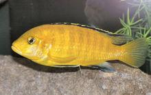 TROPICAL FISH LEMON CICHLID