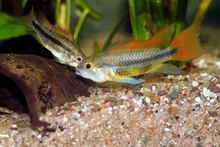 TROPICAL FISH COCKATOO DWARF CICHLID