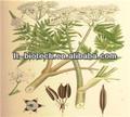 Goma Natural mirra