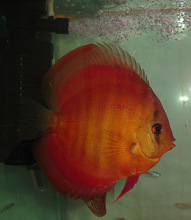 AQUARIUM FISH RED ROSE DISCUS