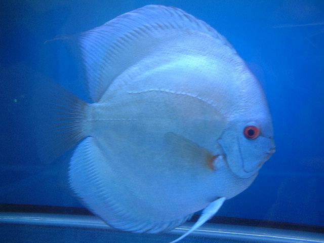 Discus fish blue diamond buy discus fish tropical fish for Discus fish price