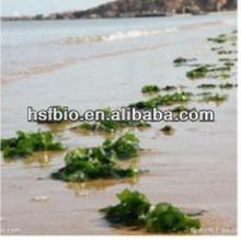 Bladderwrack Seaweed Kelp Extract/Fucoxanthin