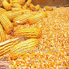 yellow corn animal feed looking for oversea sole distributors