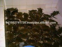 Live Mud Crab
