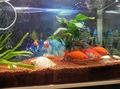 vermelho peixes de água doce de argila do solo de pelotas