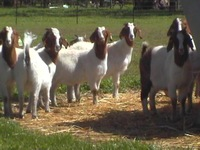 rushing cheap live goat and sheep on sale best price