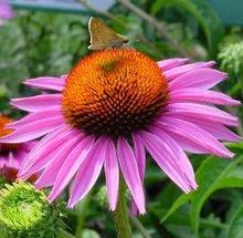 Wholesale good quality echinacea purpurea powder,natural and pure echinacea purpurea powder,hot products,anti-virus