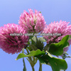 competitive price Red Clover p.e Total isoflavone 8%,20%,40%