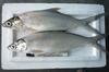 Milkfish (Chanos-Chanos)
