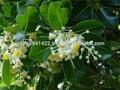 tamanu النفط لعلاج حب الشباب، القروح، الأكزيما، الوردية، جفاف الجلد، sunburns