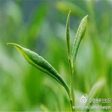 Natural Green Tea Extract/Tea polyphenol/EGCG/Catechin/L-Theanine/Tea Saponin