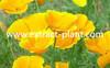 extract herbal Celandine extract Chelerythrine