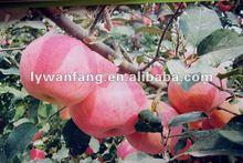 2014 Sweet Red Fresh Fuji Apples