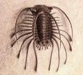 Trilobite fossili- museo di qualità- 500 milioni di anni