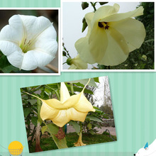 Lowest price !2014 NOW SUPPLY ! Upright Datura Flower P.E Scopolamine Hydrobromide 99% In stock