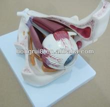 Plastic Eye Model, Anatomical Eye with Orbit
