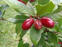 Synsepalum dulcificum - Fresh miracle berry