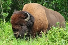BUFFALO MEAT FOR HUMAN CONSUMPTION