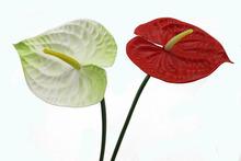 Home decoration best sale anthurium varieties